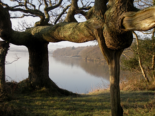 an old oak tree as a piece of art, where culture and nature come together for the future