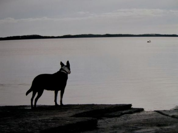 the Coorong with a watchful dog looking at the far away Pelican.