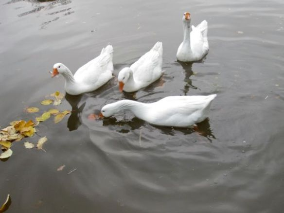 float geese