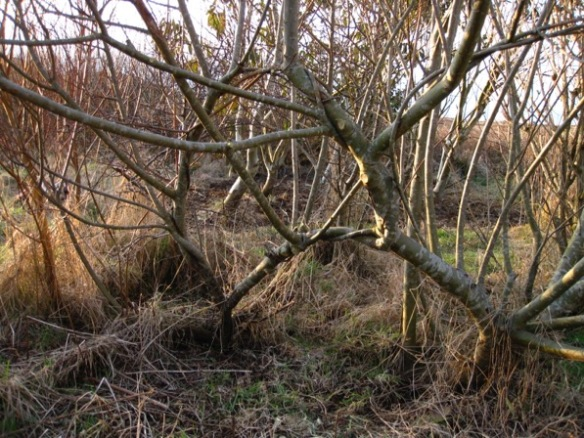 woven willow growing on