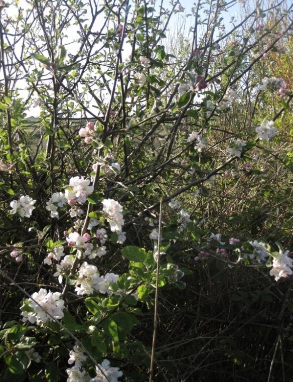 Flowering Apple Tree