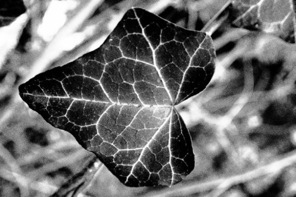 leafveinklimop